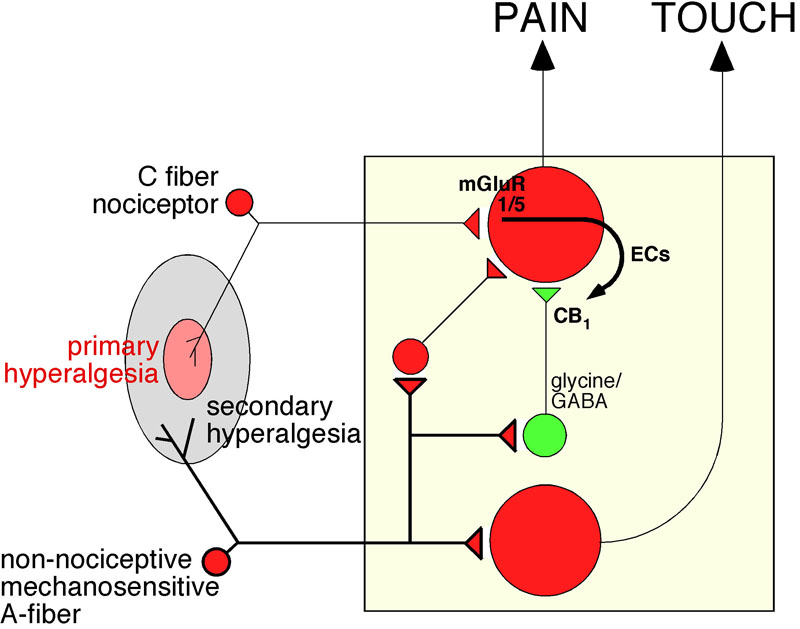 Endocannabinoids Can Promote Pain
